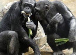Chimpanzés têm habilidades para a cozinha, mostra estudo.