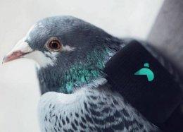 Empresa usa pombos com mochilas para medir qualidade do ar