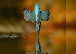 Um fotógrafo tentou por seis anos capturar este pássaro prestes a mergulhar