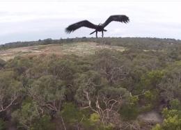 Águias estão atacando e derrubando drones sistematicamente na Austrália