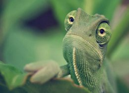 Visão de camaleões pode ajudar a aprimorar câmeras de segurança.
